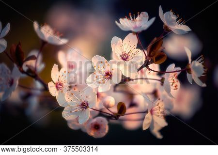 Blooming Branch Of A Tree In Full Bloom During Spring Season Against A Defocused Background With Sha