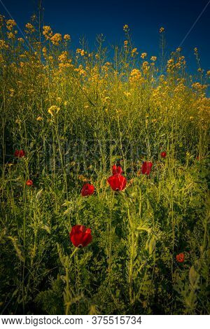 Beautiful Wild Red Poppies In A Canola Field Against A Clear Blue Sky In Broad Daylight