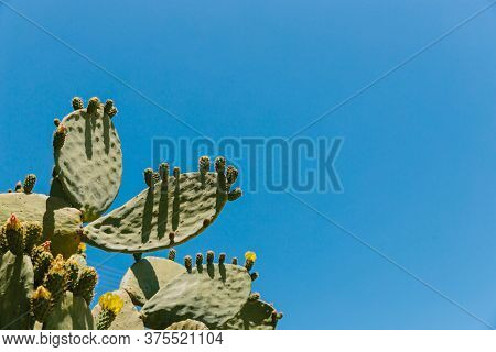 Cyprus Cactus. View Of Cactus Growing Against The Blue Sky. Cyprus. Wallpaper And Background Texture