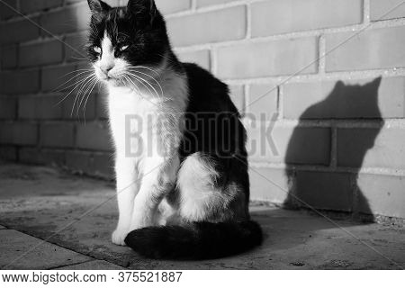 Cat Sitting In Sunny Outdoor Near Brick Wall. Close-up Pet Portrait. Bw Photo