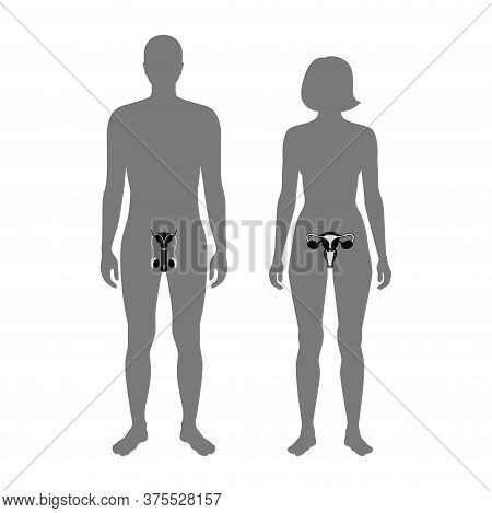 Male And Female Reproductive System In Silhouette. Uterus And Ovary, Penis And Testis In Man And Wom