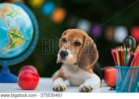 Little Red Beagle Puppy Laying On The White School Desk With Pens And Globe.