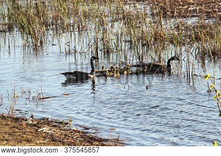 Couple Of Geese With Their Young Goslings, (baby Geese) Swimming In A Pond.