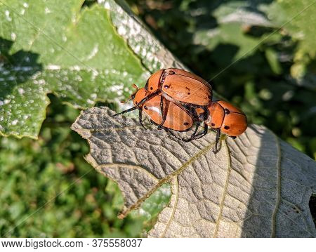 Three Grapevine Beetles (pelidnota Punctata) Attempting To Mate On The Underside Of A Grape Leaf In