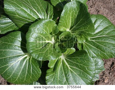 Bok Choy In Vegetable Garden