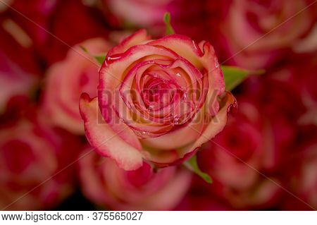 Close Up Of A Bouquet Of Paloma Roses Variety, Studio Shot, Pink Flowers