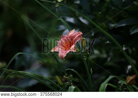 Full Blooming Of Red Lily In Flower Garden