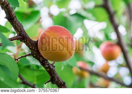 Macro shot of perfect ripe apricot on the tree. Blurred green foliage at the background.