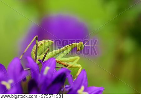 Mantis From Family Sphondromantis (spondromantis Viridis) Lurking On The Green Leaf.sphodromantis Vi