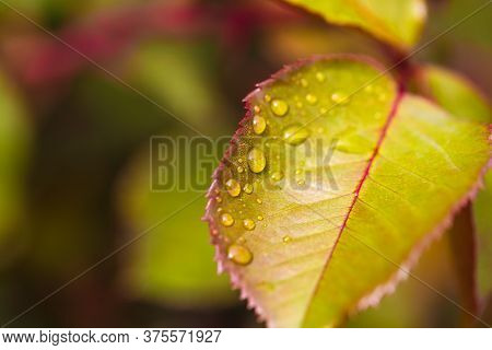 Water Drop On Leaf At Nature Close-up Macro. Fresh Juicy Green Leaf In Droplets Of Morning Dew Outdo