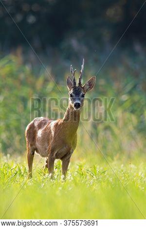 Roe Deer Buck Standing On Backlit Meadow In Summer At Sunset.