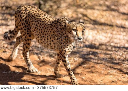 Cheetah running in South Africa, Acinonyx jubatus. Guepardo.