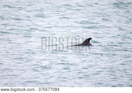 Dolphin Swims In The Sea. Dolphin Back With Fin Visible From The Water. Selective Focus
