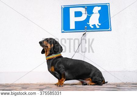 Cute Obedient Dachshund With Rainbow Collar Sits Tied For Leash To Hook On Wall Under The Dog Parkin