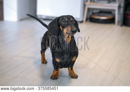 Smart Obedient Black And Tan Dachshund Dog Stands In The Middle Of Apartment And Waits For Owner To