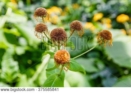 Old Wilted Flowers On A Background Of Bright Greenery. The Concept Of Age And Aging. Autumn Concept.