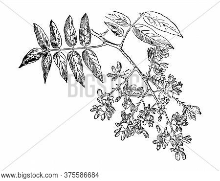 Sophora Japonica Branch Flower And Leaves Isolated Background. Plant Herbaceous, Meadow Herb. Hand D