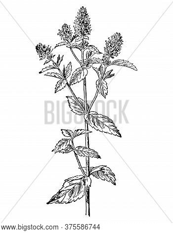 Mint Branch With Flowers And Leaves Isolated Background. Plant Sketch For Tea, Organic Cosmetic, Aro