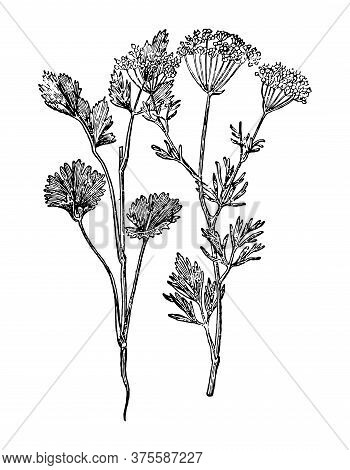 Anise Branch With Flowers And Leaves Isolated Background. Plant Sketch For Tea, Oil, Organic Cosmeti