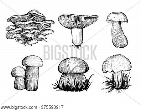 Collection Of Forest Mushrooms Isolated On A White Background. Edible Mushrooms - Russula, Oyster Mu