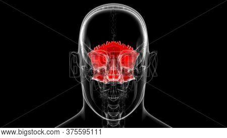 Human Skeleton Skull Occipital Bone Anatomy For Medical Concept