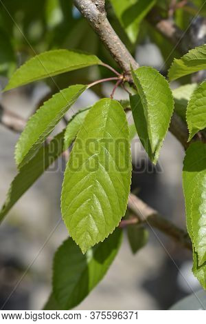 Sweet Cherry Tree Bigarreau Napoleon Leaves - Latin Name - Prunus Avium Bigarreau Napoleon