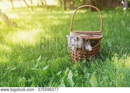 Cute Gray Fluffy Little Kitten In A Wooden Brown Basket On A Green Meadow In The Garden On A Sunny S