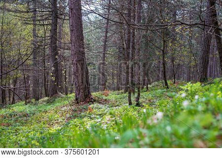 Green Pine Forest Nature. Pine Trees Forest. Nature. Pine Forest In Nature. Natural Environment. For