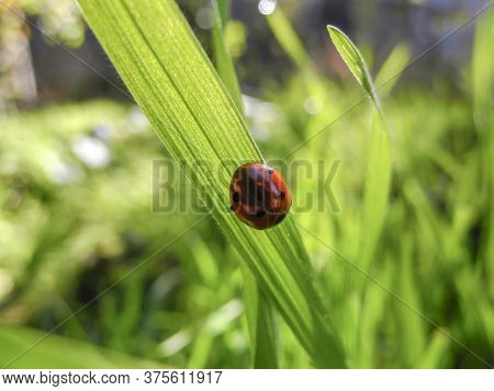 Ladybug Sitting On A Blade Of Grass