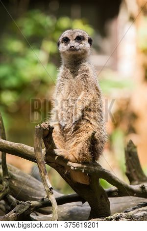Meerkat, Suricata Suricatta, Sitting On A Tree