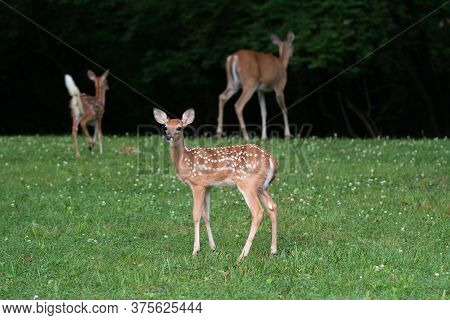 Whitetailed Deer Fawn In Foreground With Twin Fawn And Doe Background N An Open Field In Summer