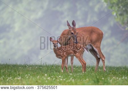 White-tailed Deer Doe Grooms Its Fawn In A Meadow On A Foggy Summer Morning.