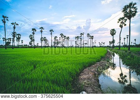 Landscape Under Scenic Colorful Sky At Sunset Over Rice Field And Sugar Palm Trees. Rice Fields And