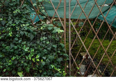 Closed Gate Into A Decrepit Greenhouse Was Half-braided By Ivy. Trees For Sale Visible Through Reinf