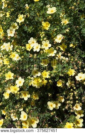 A Shrubby Cinquefoil Plant Also Known As A Shrubby Five Finger Or Widdy