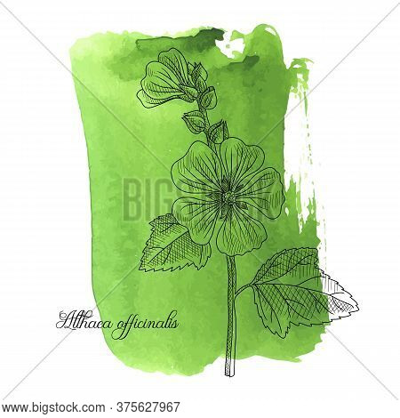Vector Drawing Marsh-mallow At Green Watercolor Background, Althaea Officinalis, Hand Drawn Illustra