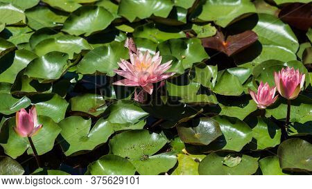 Pink Water Lily (nymphaea Species) Flower On Large Round Leaves