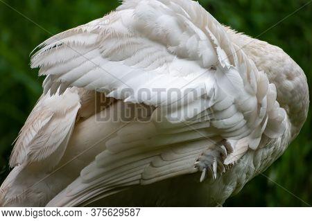 Single Adult Mute Swan (cygnus Olor) Hiding Behind His Wings. White Plumage.