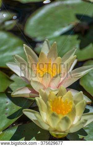 Yellow Water Lilies (nymphaea Species) Flower On Large Round Leaves