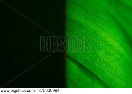 Close Up Bird's Nest Fern Or Asplenium Nidus Leaf In Backlight. Texture Details Of Dark And Bright S