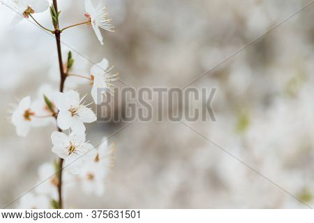 White Cherry Blossoms In Spring Sun With Tender Bokeh