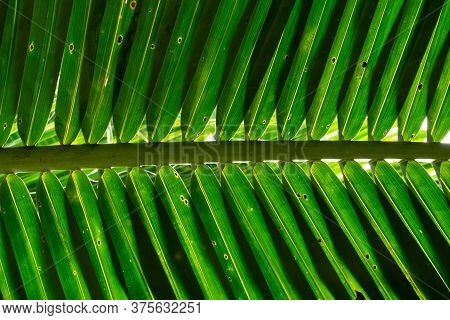 Texture Details Coconut Palm Tree Leaf In Backlight. Low Angle View Of Tropical Green Foliage. Abstr