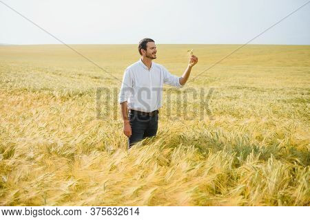 Wheat Farmer And Agronomist Inspecting Cereal Crops Quality In Cultivated Agricultural Plantation Fi
