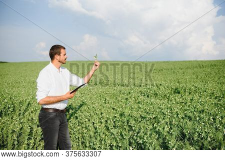 A Young Farmer In A Field With Green Peas Inspects The Growth Of Plants With A Tablet In His Hands.