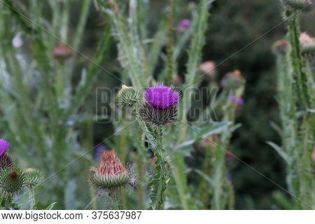 Purple Flower Of A Thistle In An Urban Garden.