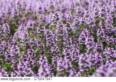 The Flowers Of The Herb Thyme In Nature As A Natural Background.