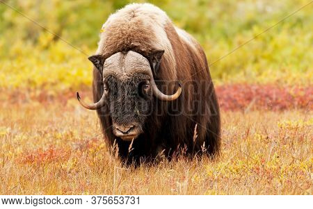 Portrait of a Buffalo - An American Bull Bison (Buffalo) calling out the the heard at  national Park.