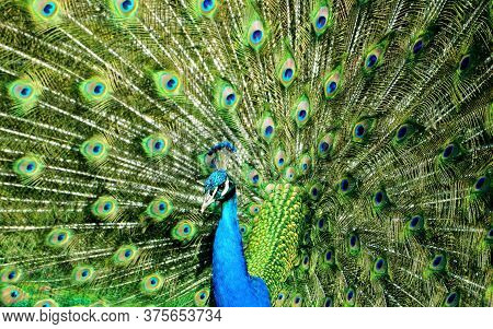 Portrait of beautiful peacock - peacock with feathers out