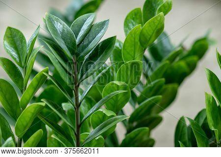Zamioculcas Zamifolia- Dollar Tree. Zanzibar Gem The Tree Is Named Auspicious. Suitable For Decorati