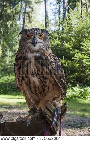 Portrait Of Bubo Bubo - Eurasian Eagle Owl With Forest Background